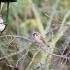Feldsperling (Passer montanus)